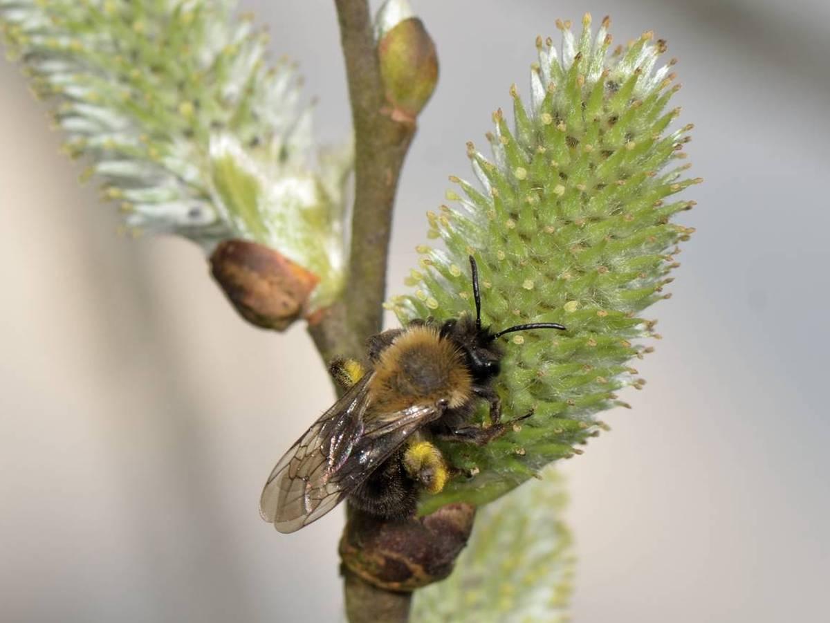 Andrena clarkella_Ferrieres_Saint-Roch_02-04-2017_01