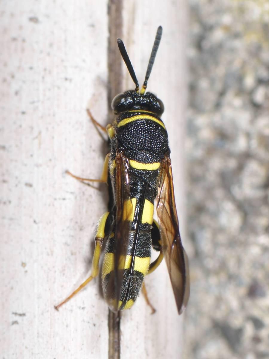 Leucospis-dorsigera_MonJardin_25-06-2020_05