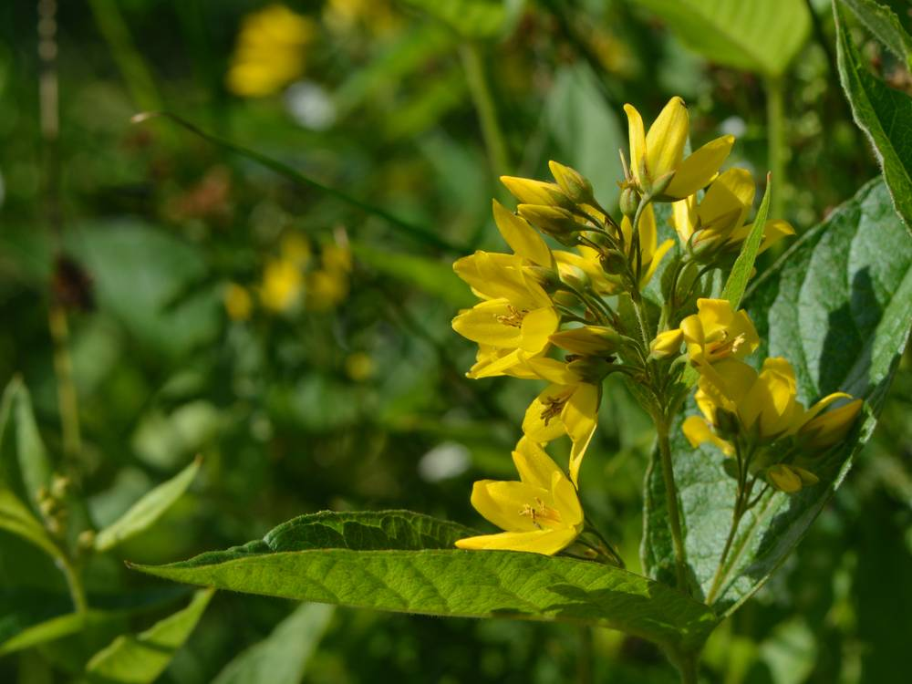 Lysimachia-vulgaris_05