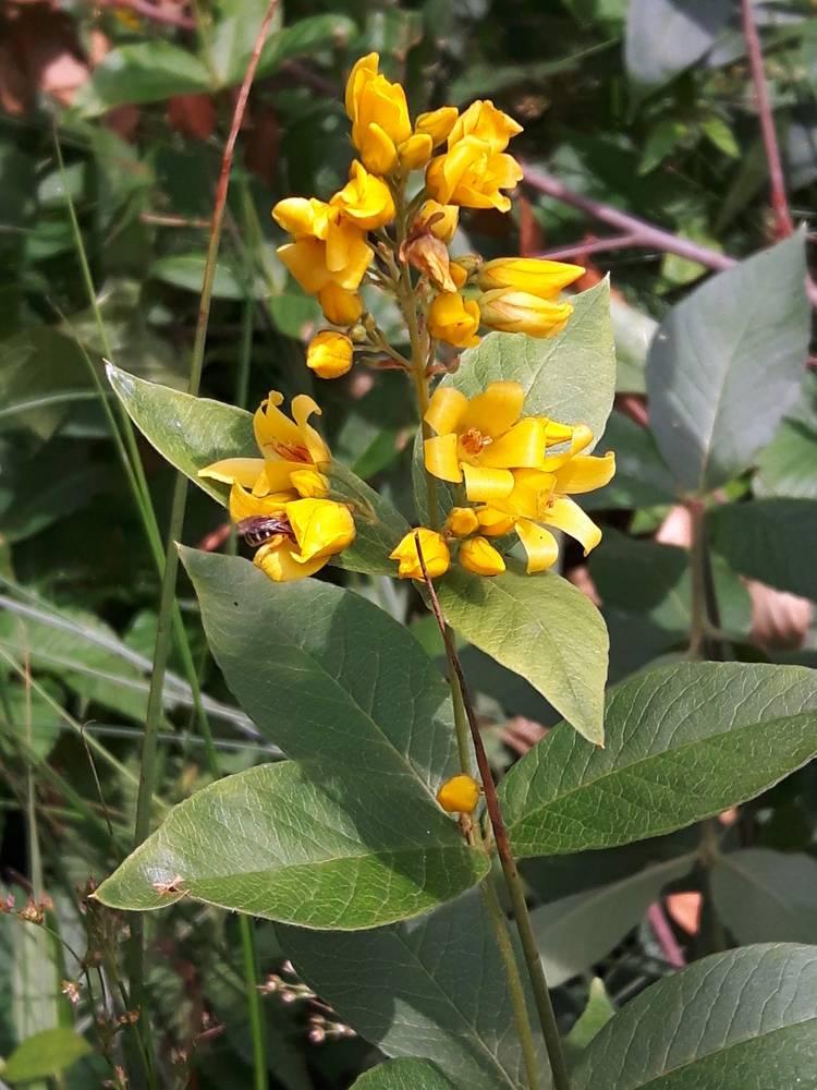 Lysimachia-vulgaris_06