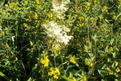 Lysimachia-vulgaris_04