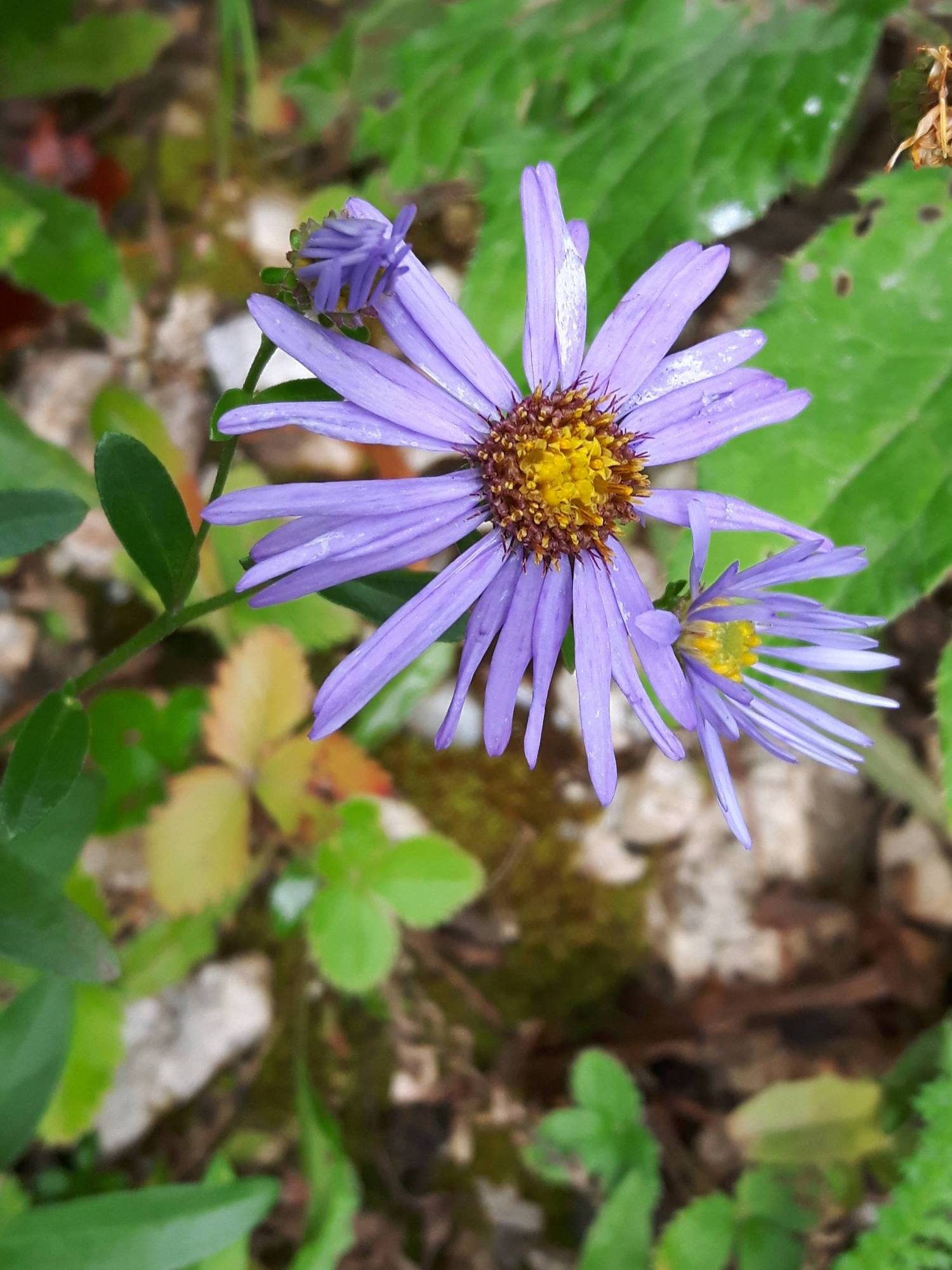 Aster-sp_site01_05-09-2018_06