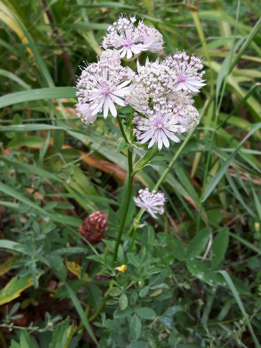 Astrantia major_site03_06-09-2018_01