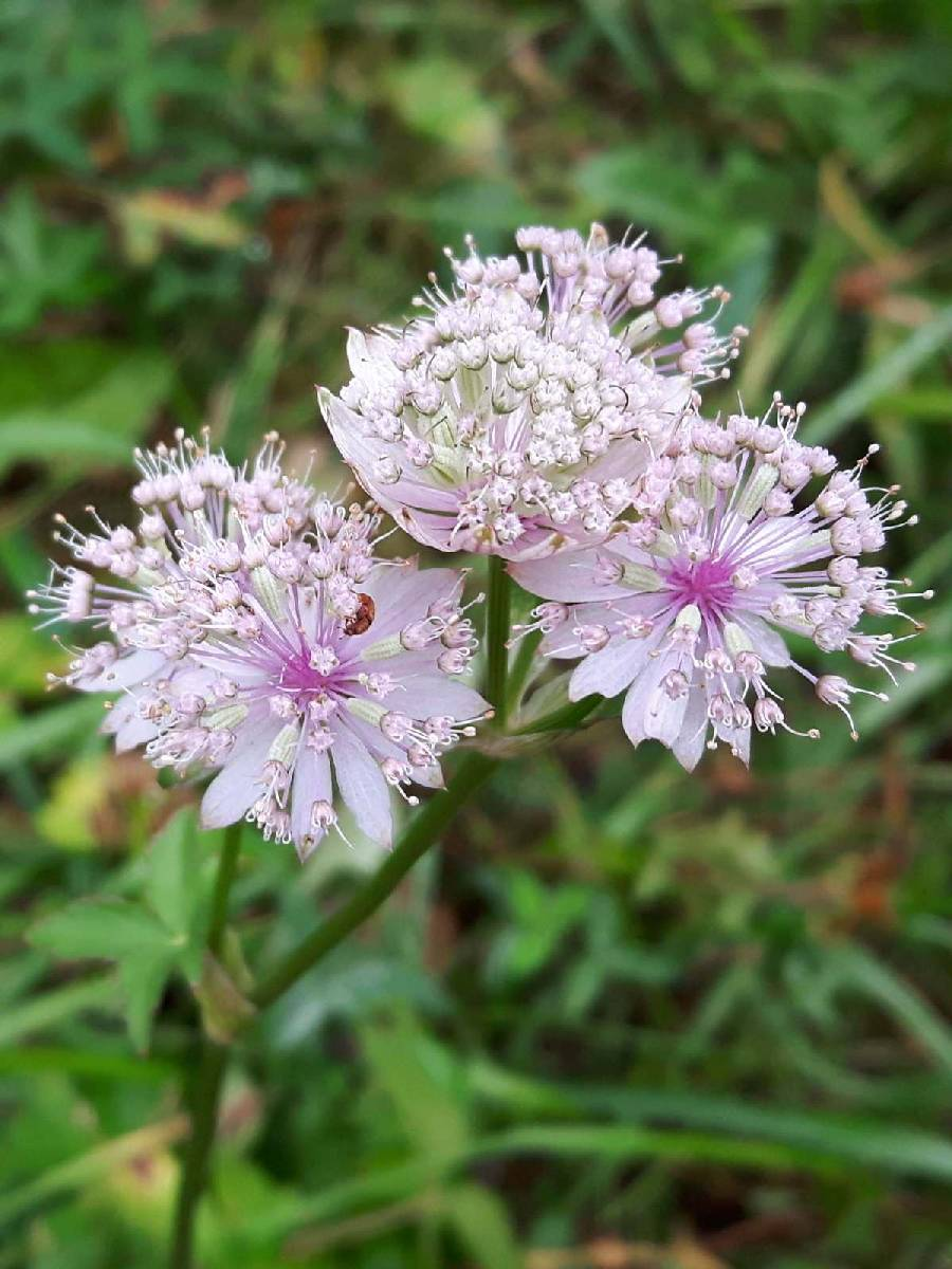 Astrantia major_site03_06-09-2018_04