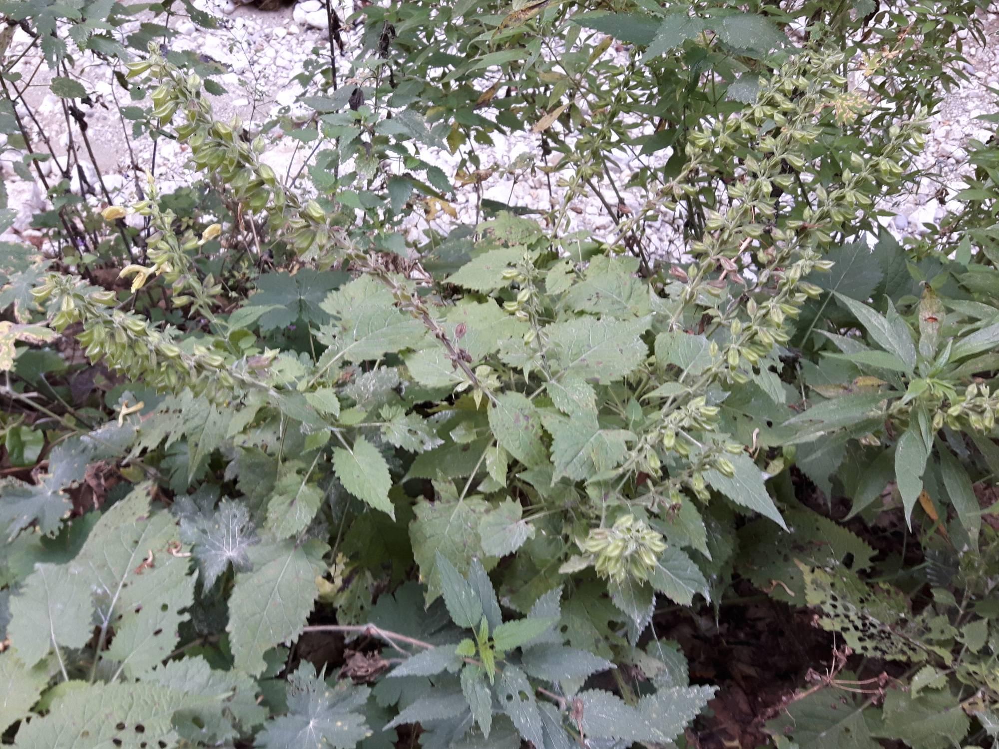 Salvia glutinosa_site01_04-09-2018_04