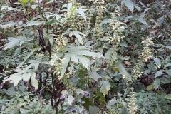 Salvia glutinosa_site01_04-09-2018_05