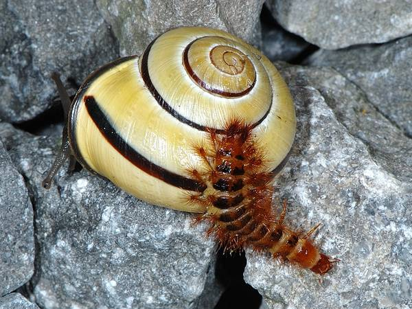 Drilidae