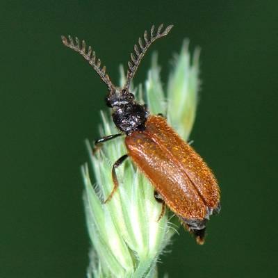 Drilidae mâle
