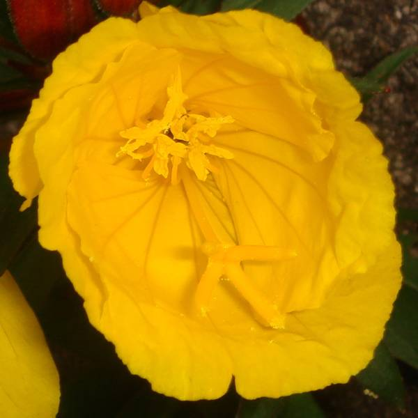 "Oenothera fruticosa ""Sonnewende"""