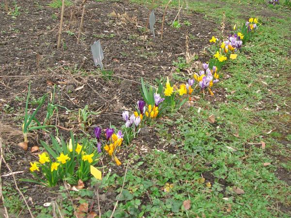Crocus en bordure de jardin