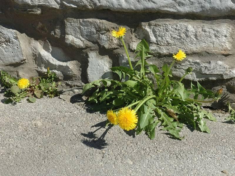 Floraison de pissenlits en façade