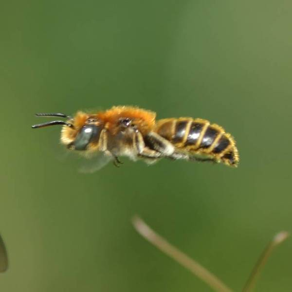 Spécimen mâle