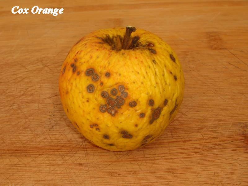 Cox-orange_02