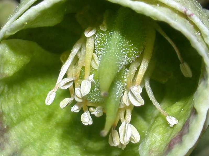 Hellébore fétide - détail de la fleur