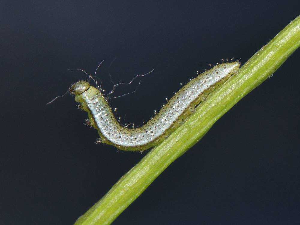 Anthocharis cardamines_Sprimont_01-06-2012_JM-Michalowski_04