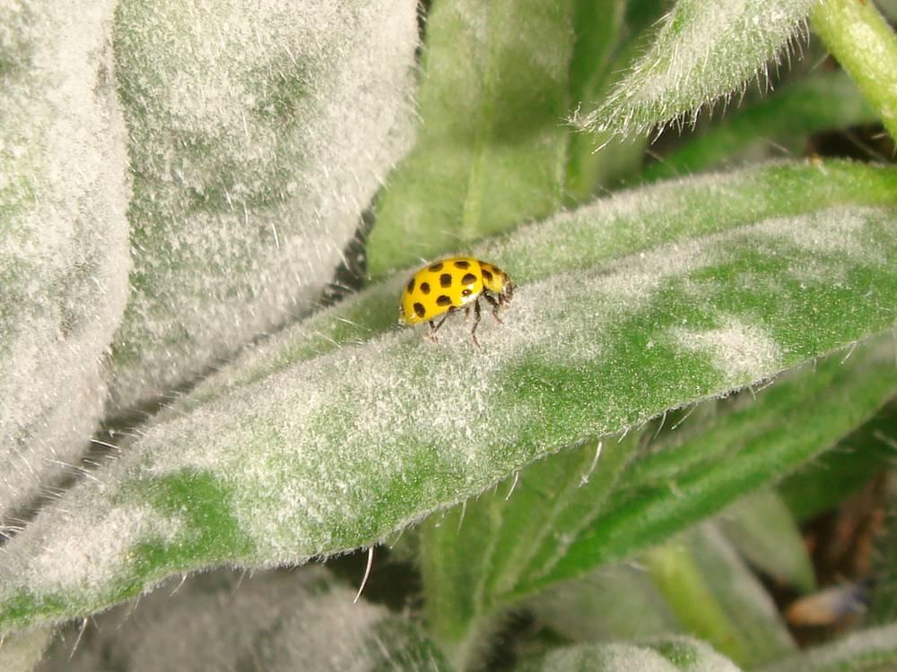 Psyllobora 22-punctata_jardin_19-06-2012_01