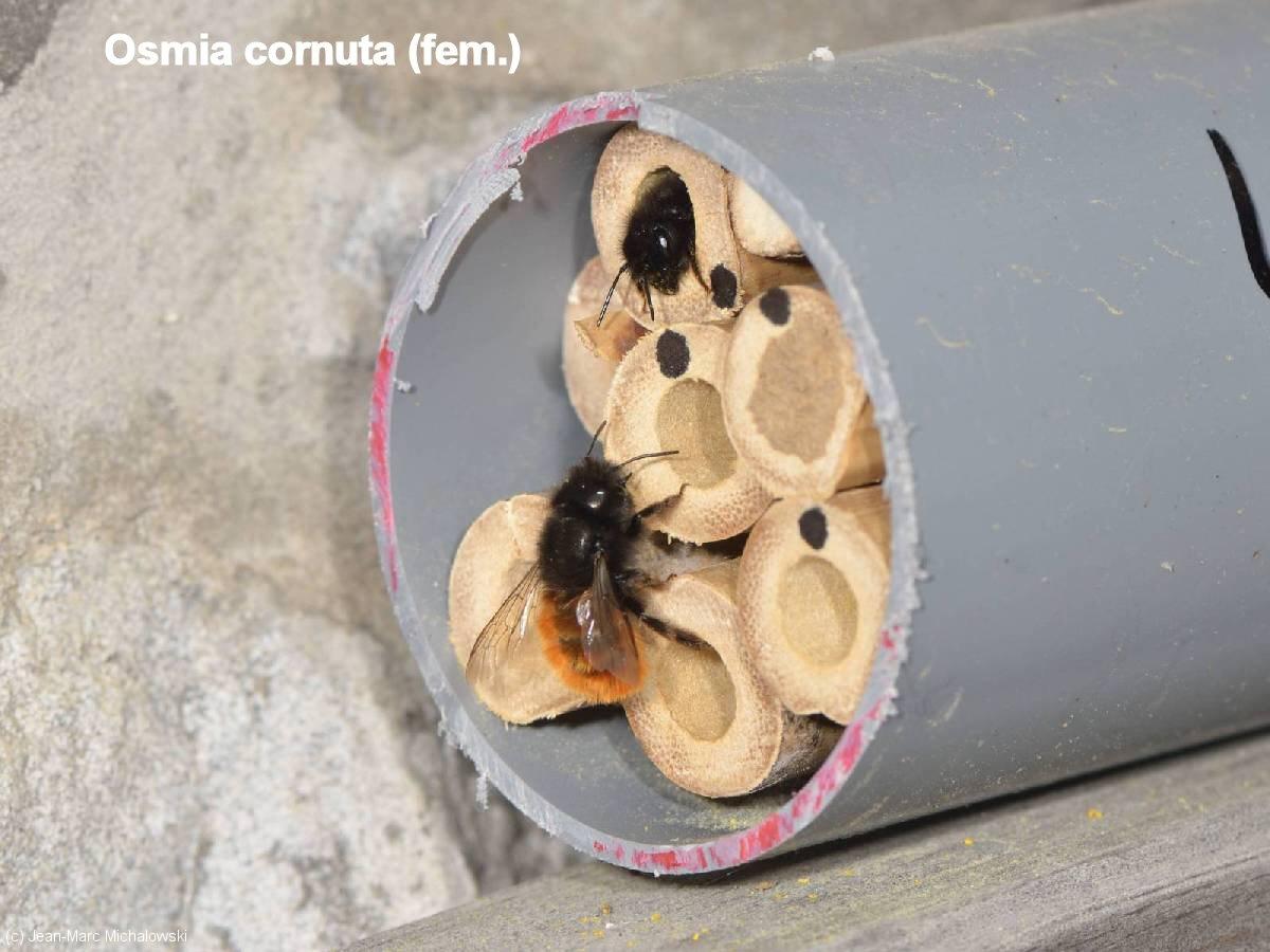 Osmia cornuta_femelle_MonJardin-15-04-18_19