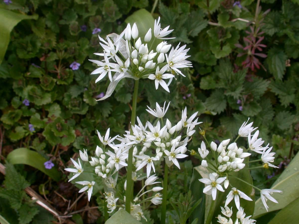 sechage-fleurs-ail-des-ours_29-04-19_02