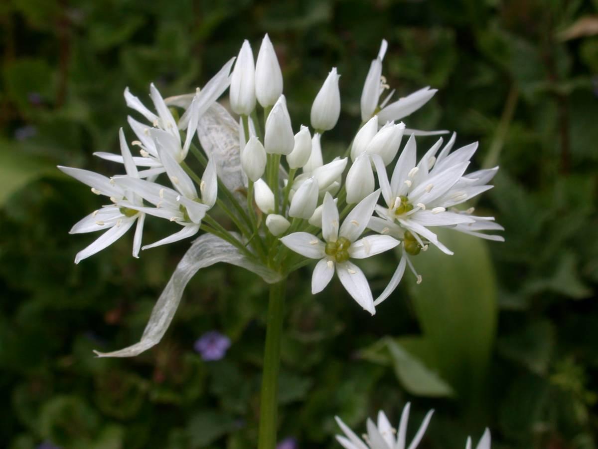 sechage-fleurs-ail-des-ours_29-04-19_03