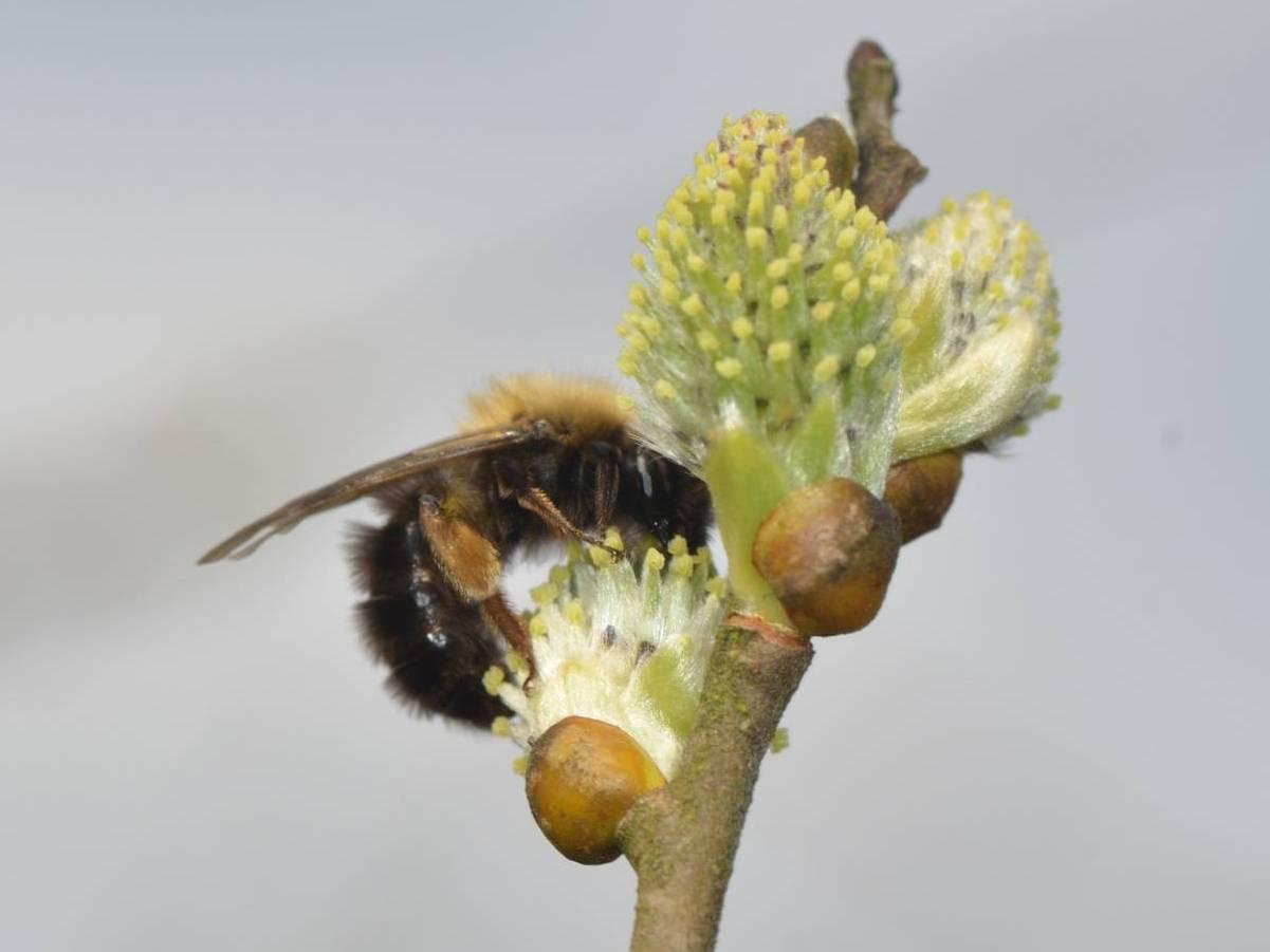 Andrena clarkella_Ferrieres_Saint-Roch_02-04-2017_07