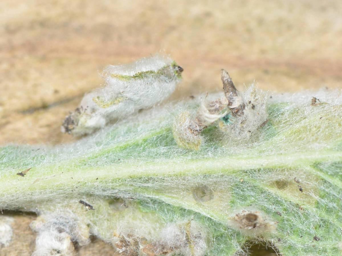 Coleophora lineolea est bien installé ... (04-05-2020)