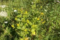 Lysimachia-vulgaris_02