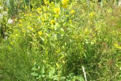 Lysimachia-vulgaris_08
