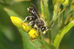 Macropis-fulvipes-male_Ferrieres_03-07-2011_15