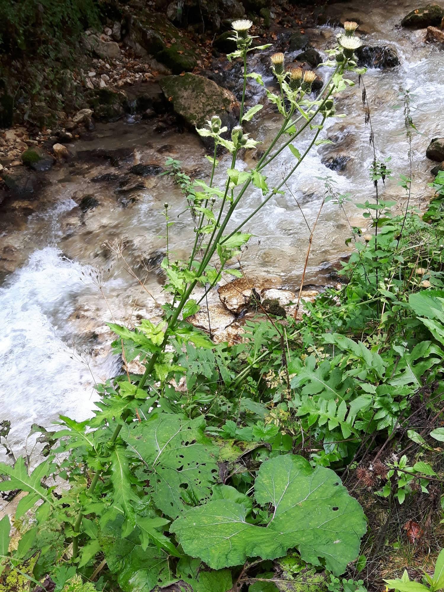 Cirsium erisithales_site01_05-09-2018_02