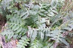 Cirsium erisithales_site01_05-09-2018_06