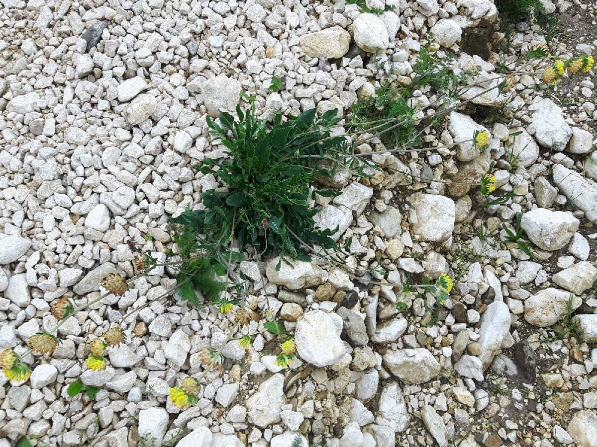 Anthyllis vulneraria_site03_06-09-2018_03