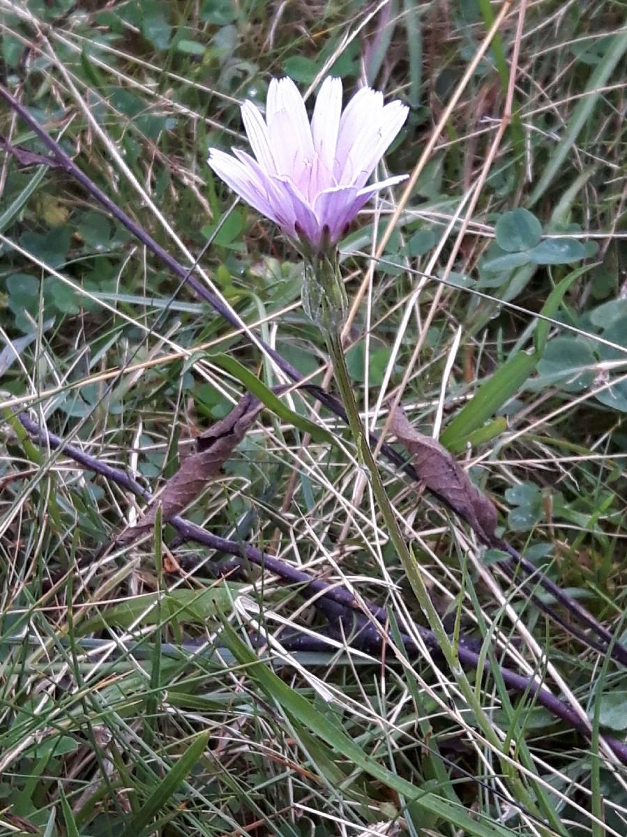 Podospermum purpureum_06-09-2018_02