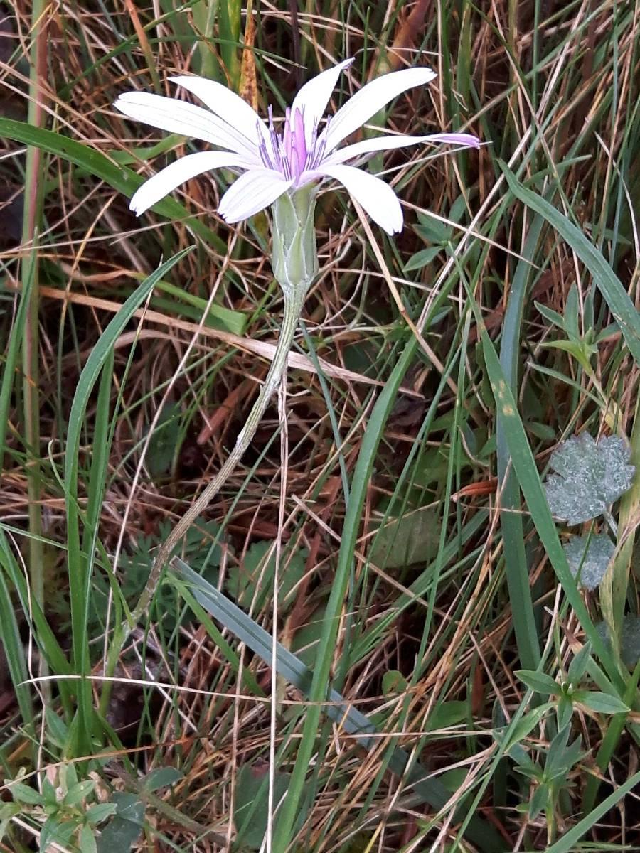 Podospermum purpureum_06-09-2018_05