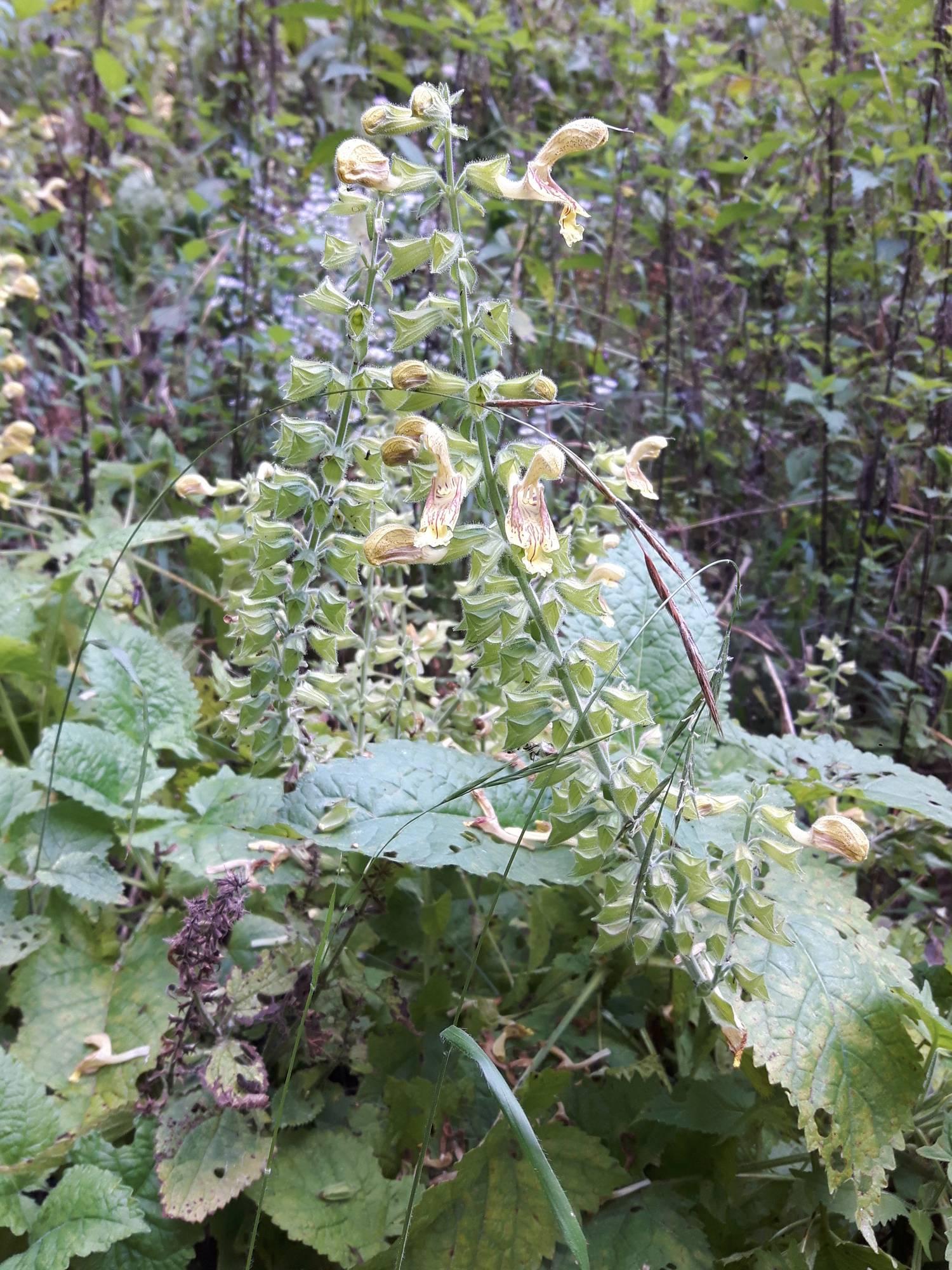 Salvia glutinosa_site01_04-09-2018_01