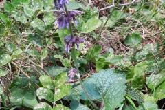 Salvia verticillata_site_01_05-09-2018_01