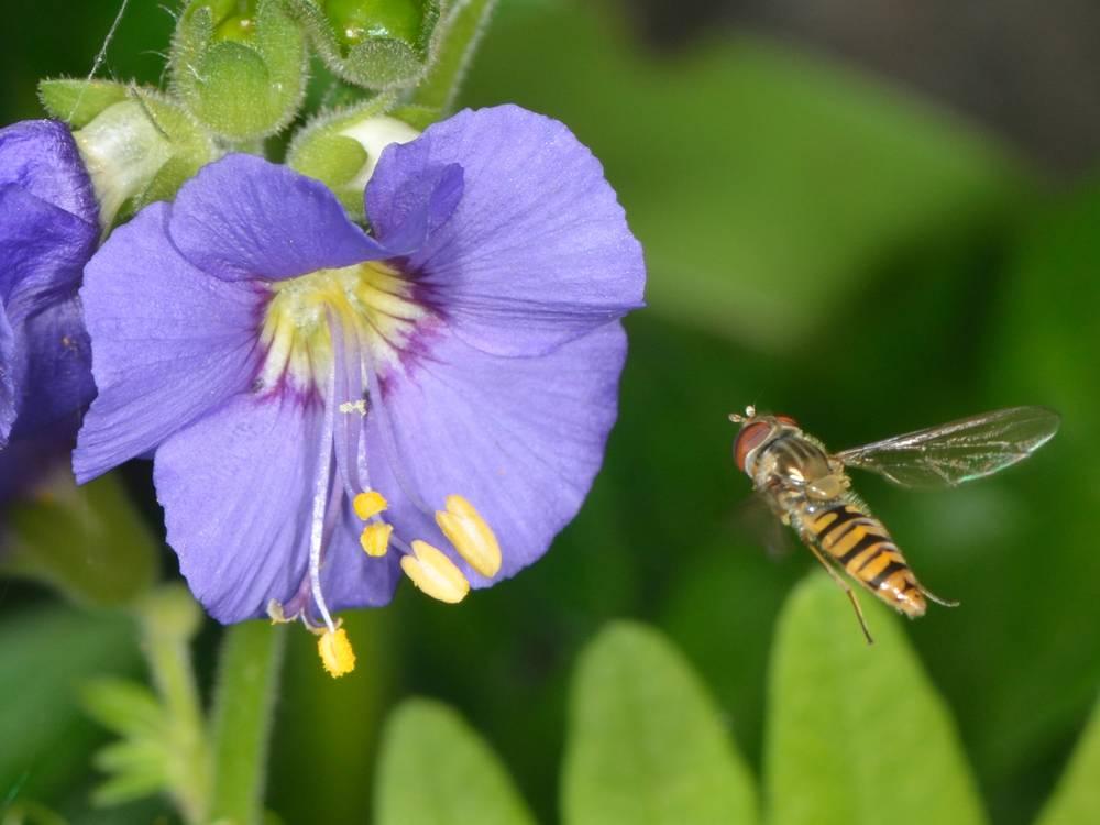 Episyrphus balteatus_01