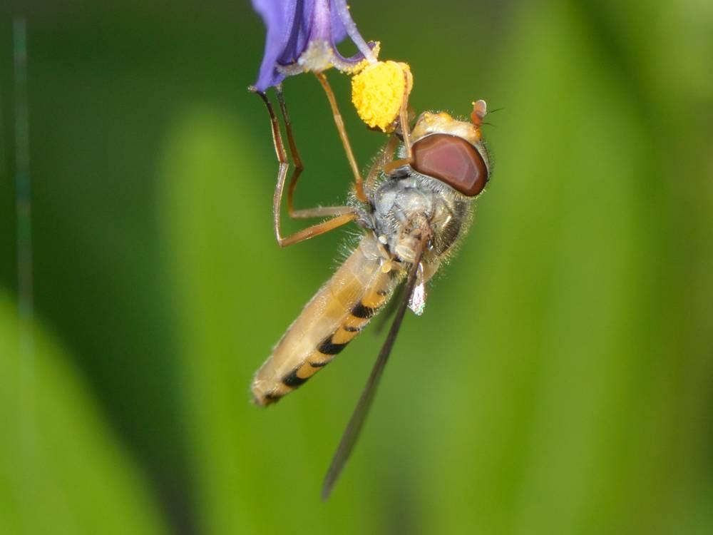 Episyrphus balteatus_05