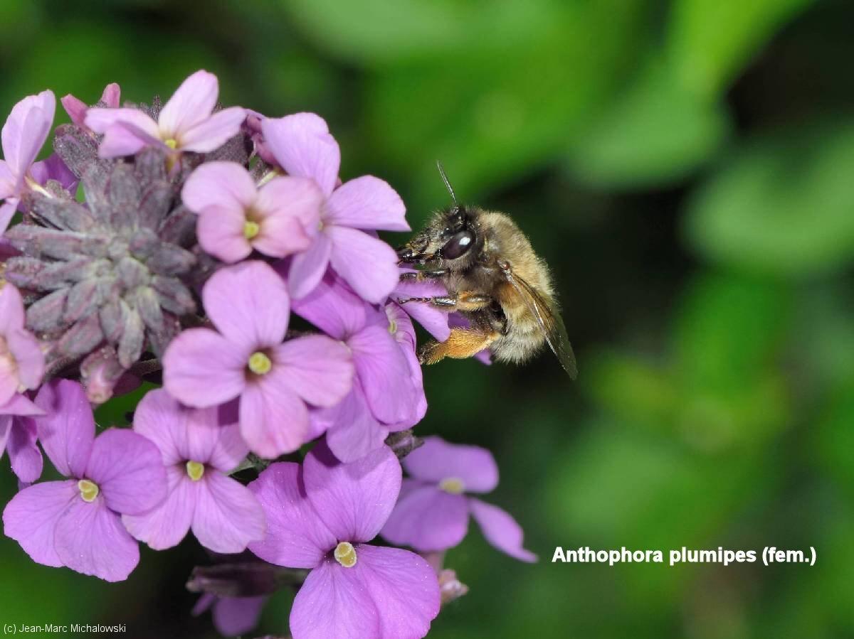 Anthophora plumipes femelle_MonJardin_28-04-18_03