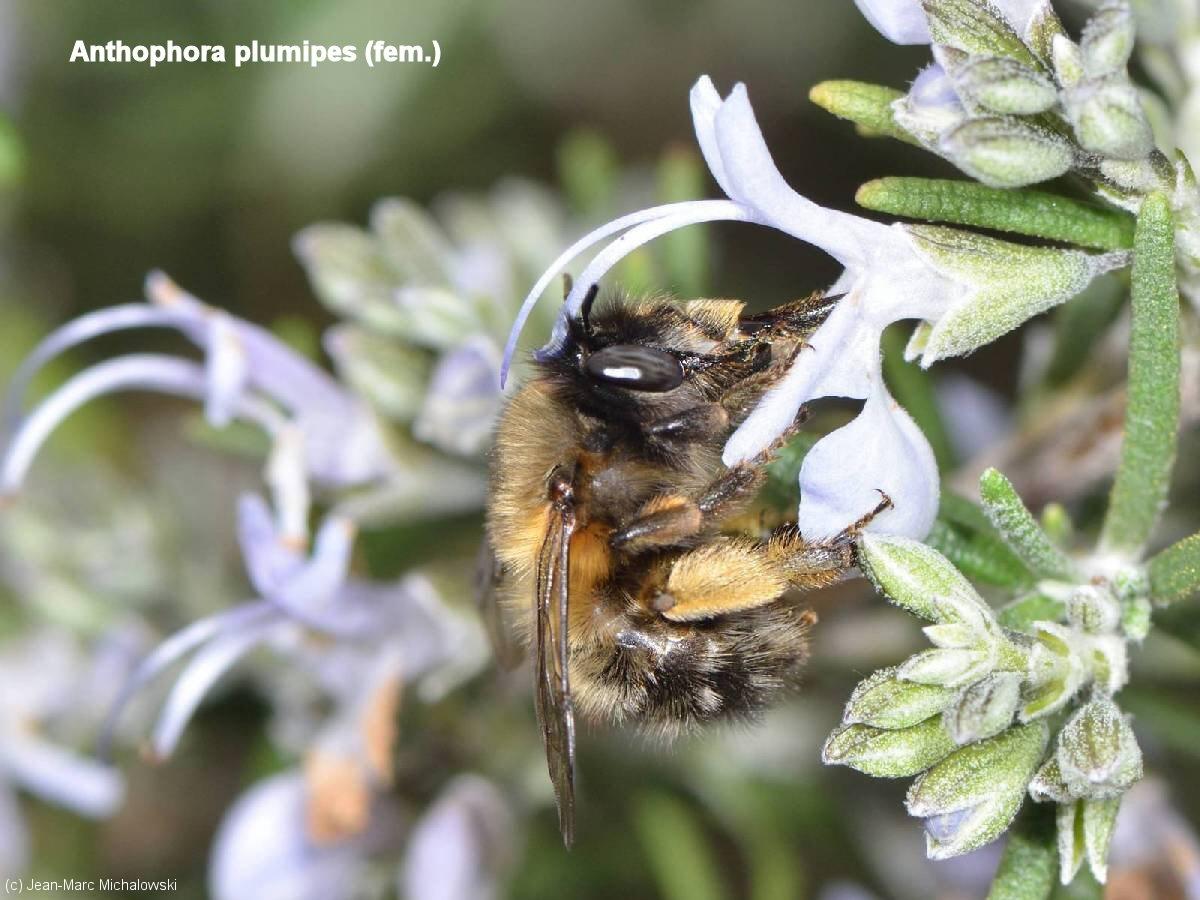 Anthophora_plumipes_femelle_MonJardin-15-04-18_23