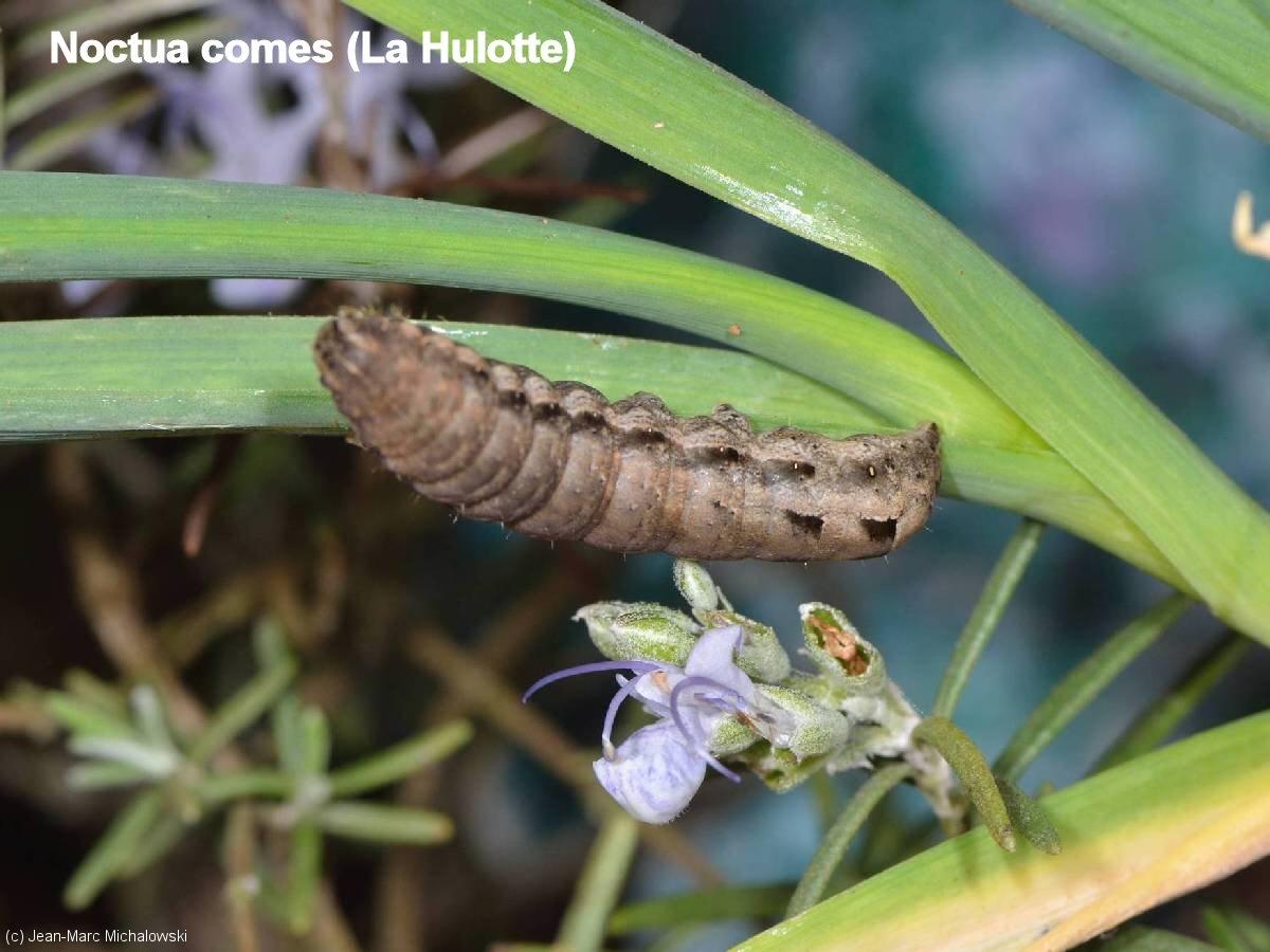 Noctua_comes_MonJardin_17-04-18_09