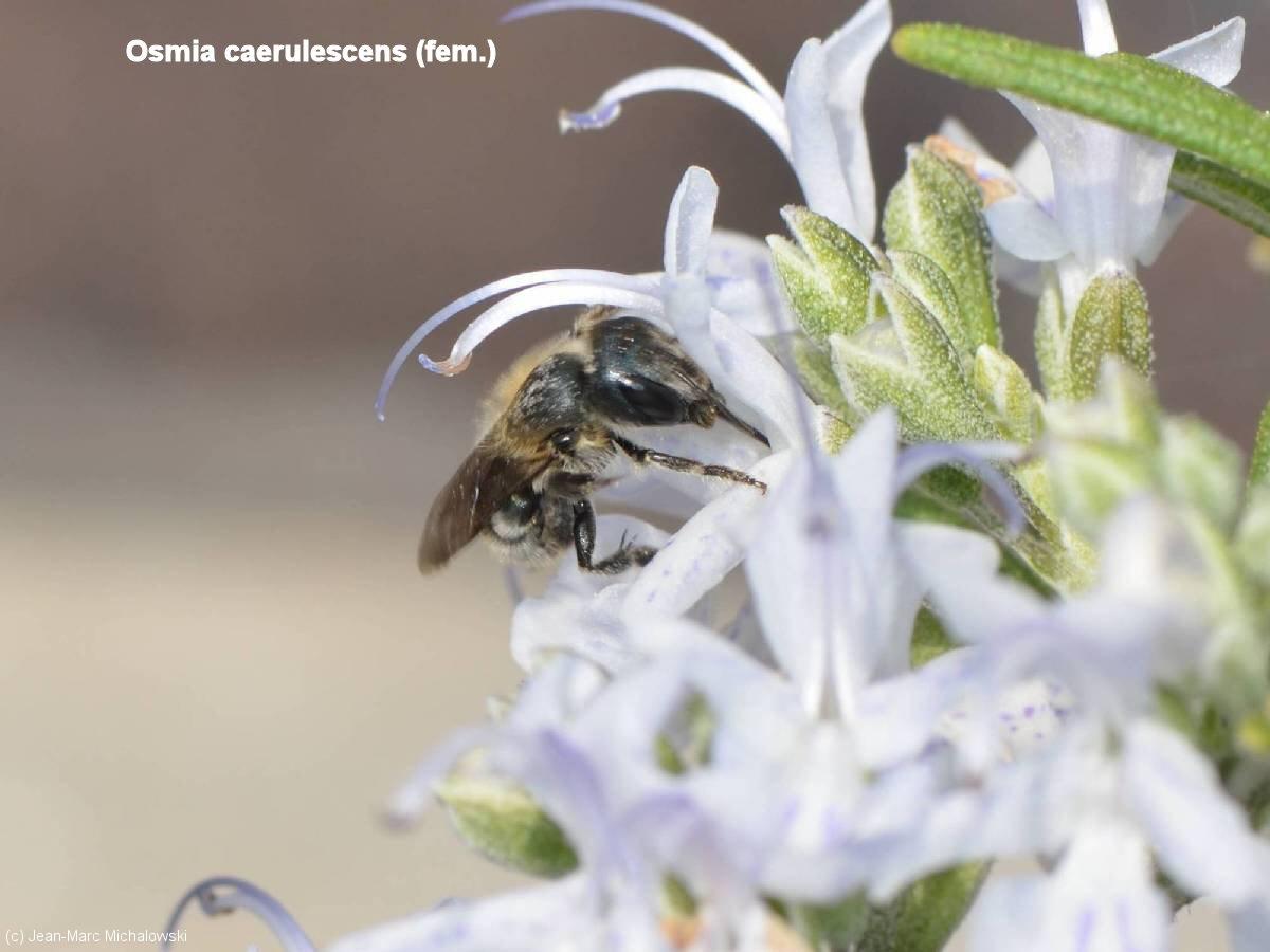 Osmia caerulescens-femelle_MonJardin_22-04-18_03