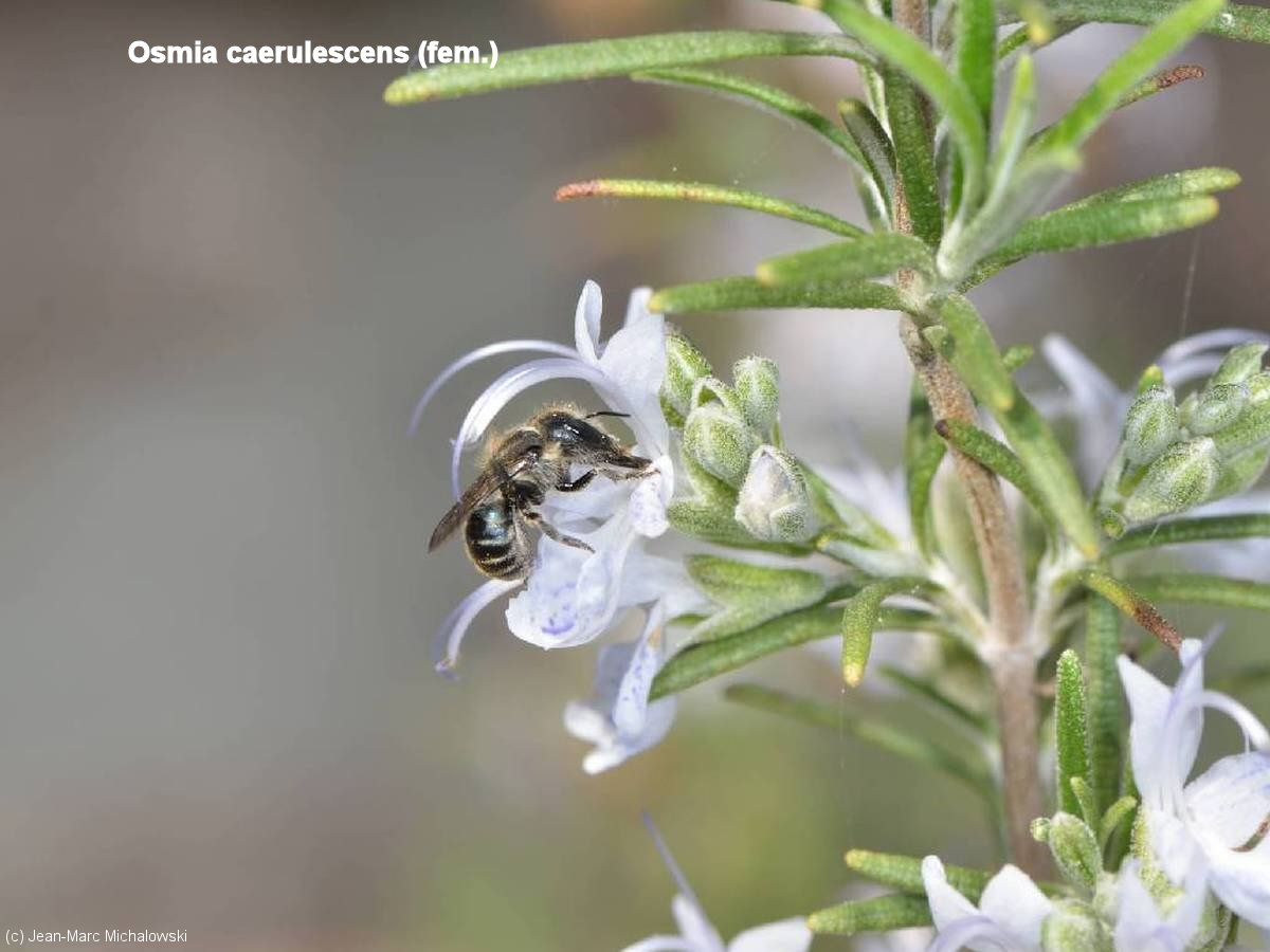 Osmia caerulescens-femelle_MonJardin_22-04-18_04
