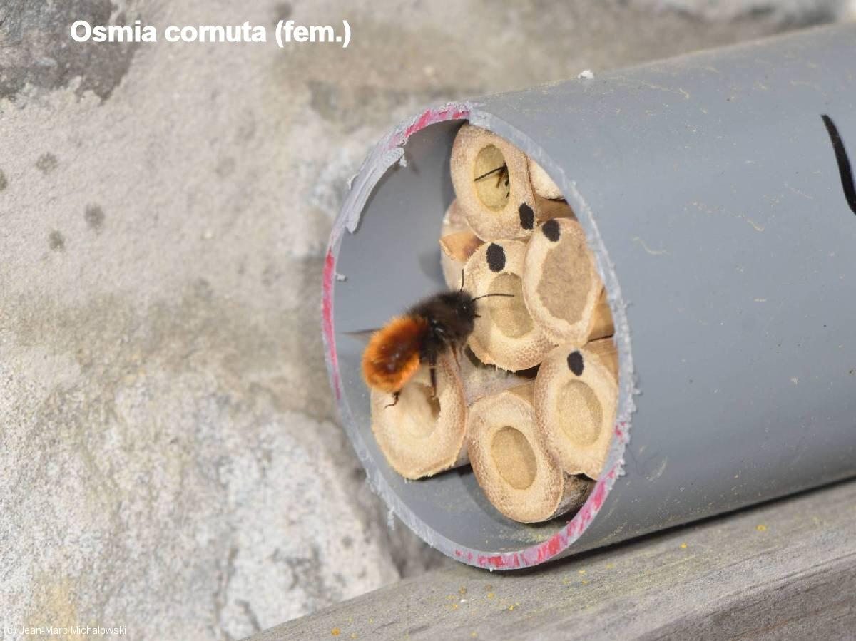 Osmia cornuta_femelle_MonJardin-15-04-18_18