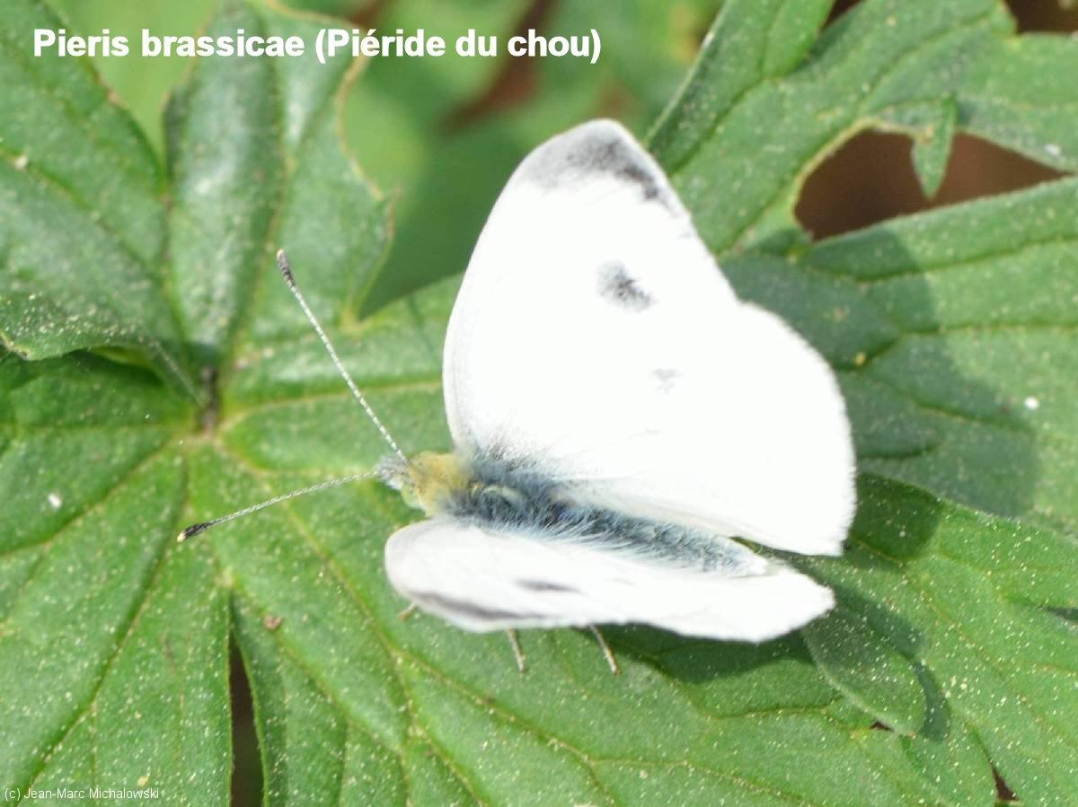 Pierris_sp_MonJardin_22-04-18_01
