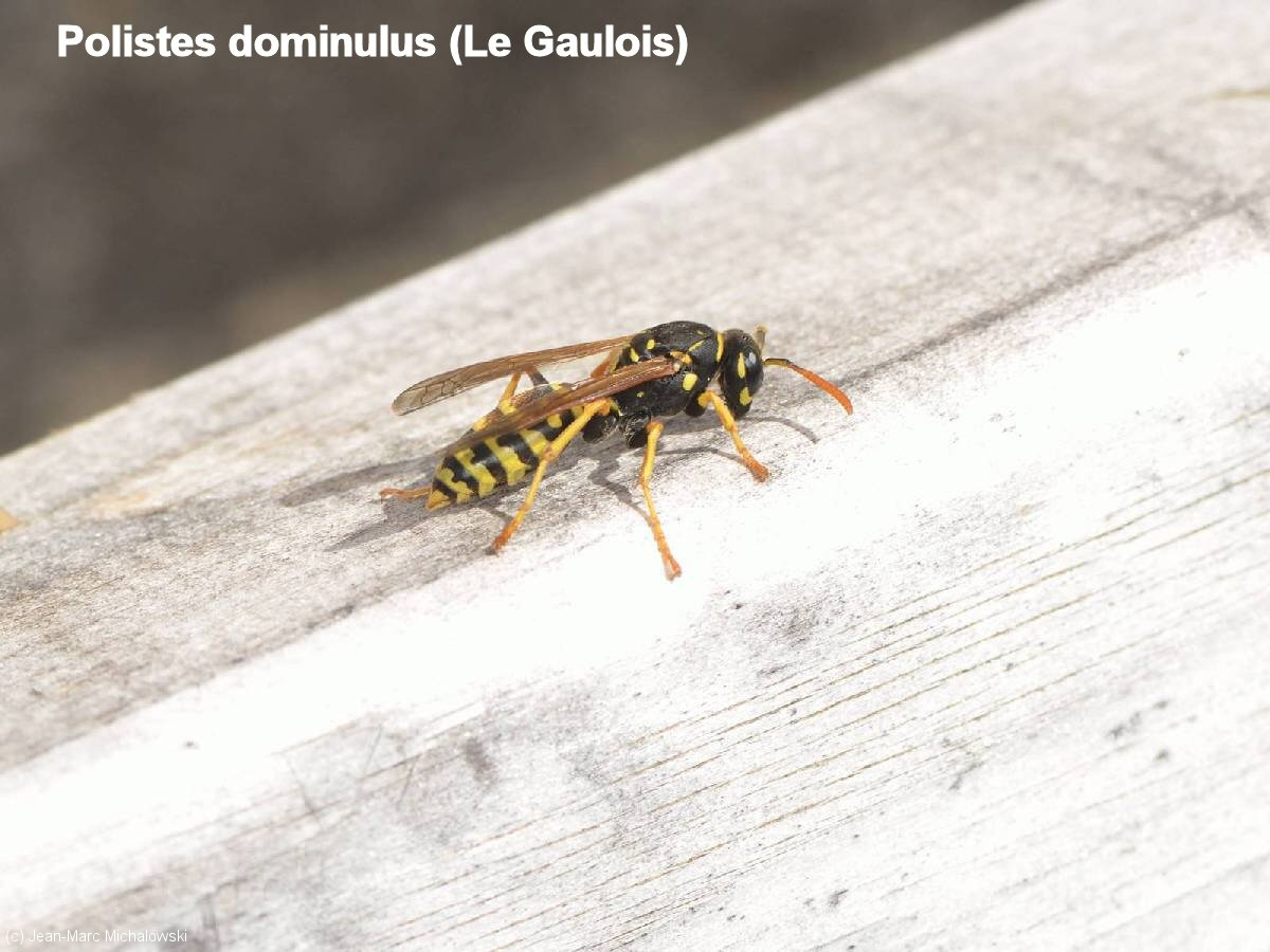 Polistes dominulus_MonJardin-15-04-18_14