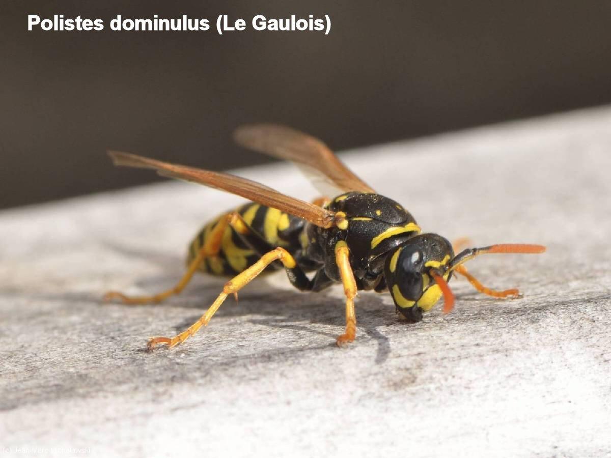 Polistes dominulus_MonJardin-15-04-18_15