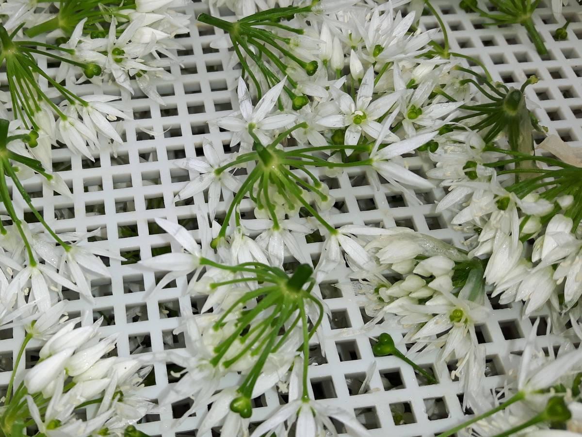 sechage-fleurs-ail-des-ours_29-04-19_07